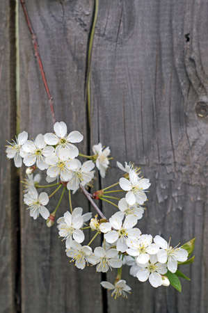 Flowering cherry branch against the background of a wooden fence photo