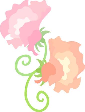 The illustration of sweet peas on white background. Illustration