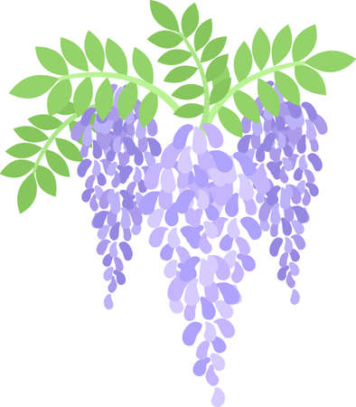 The illustration of wisteria