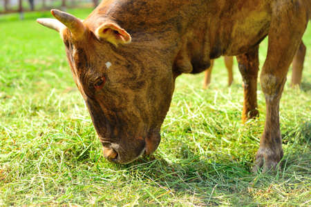 Brown cow eating grass photo