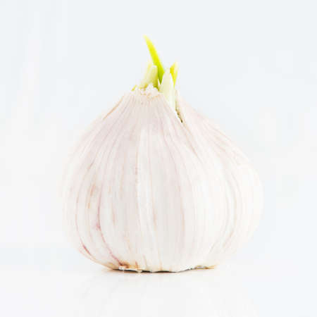 Sprouting garlic bulb photo