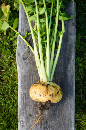 unwashed: Unwashed turnip freshly harvested from garden, top view Stock Photo