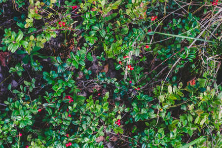 mountain cranberry: Cowberries in a forest, top view Stock Photo