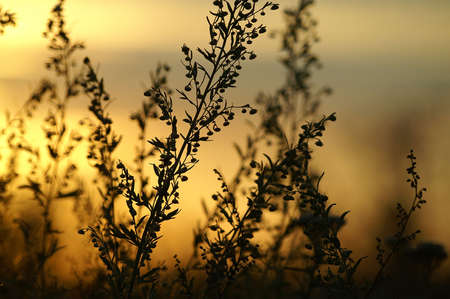 grasses: Silhouettes of grasses on a sunset Stock Photo