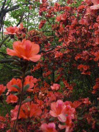 azaleas: Red Azaleas