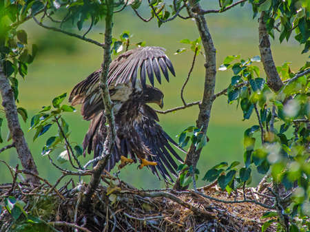 talons: A bald eagle chick begins to fledge.