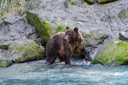 salmon run: Coastal brown bear looks for fish in a stream Stock Photo
