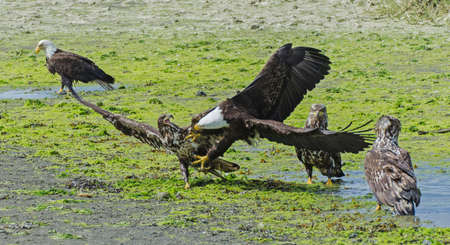 intimidating: Adult bald eagle intimidating a juvenile
