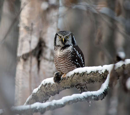 vole: Northern Hawk Owl with a vole Stock Photo