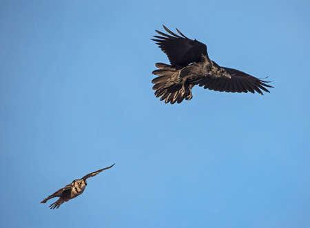 corax: Northern Hawk Owl chasing a Raven