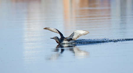 gavia: Red Throated Loon lands on a lake