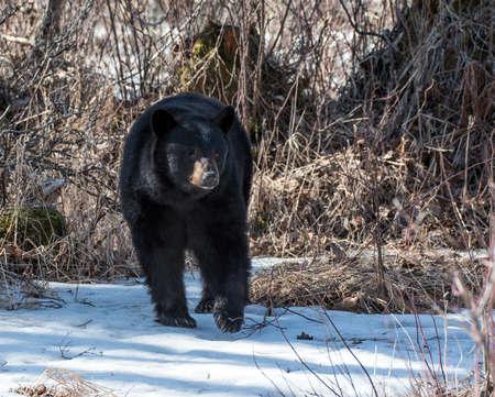 oso negro: Cerda del oso negro en busca de comida en Alaska