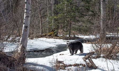 sow: Black bear sow along a creek in Alaska