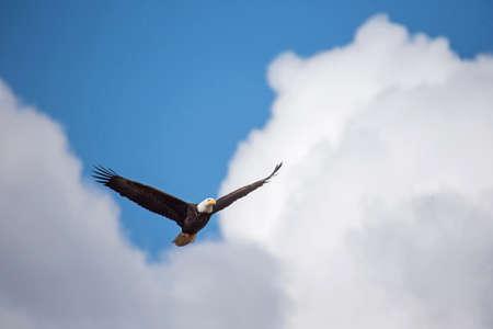 beneath: Bald eagle soars beneath the clouds