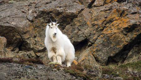 rock wool: Mountain Goat along the cliffs in Alaska