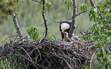 aguila calva: Águila calva que alimenta su polluelo en el nido