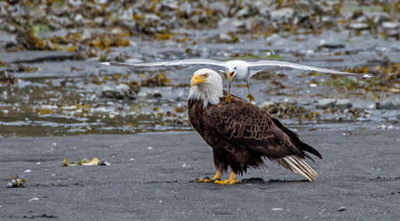 harassing: Gull harassing a bald eagle on the beach Stock Photo