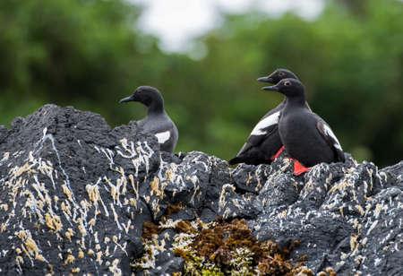 sitka: Pigeon Guillemots on a rock on St. Lazaria Island