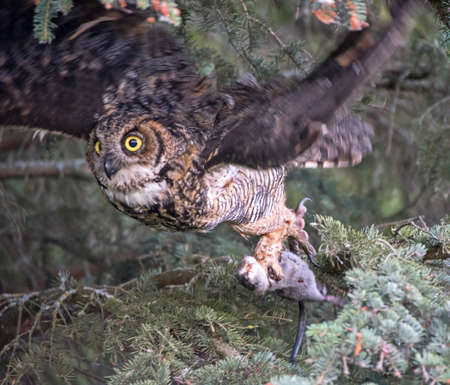 talons: Great Horned Owl flys with a Muskrat
