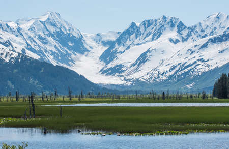 snow capped mountains: Swans in pond below snow capped mountains in Alaska
