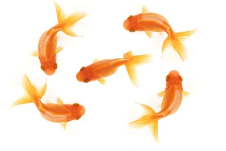 Four goldfish swimming in circles around a central goldfish isolated on white, birdseye view