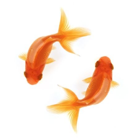 Two goldfish swimming in circles isolated on white, birdseye view Stock Photo