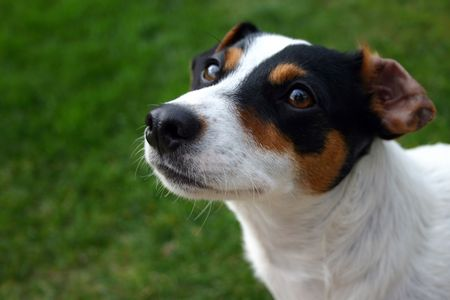 Jack russel against green grass stares up with  intrigue