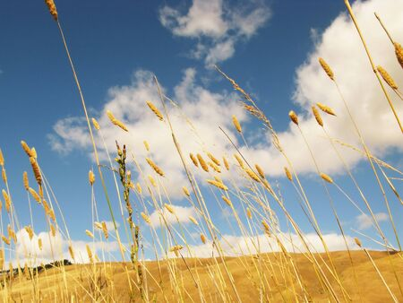 Looking up at golden grass against blue sky Stock Photo