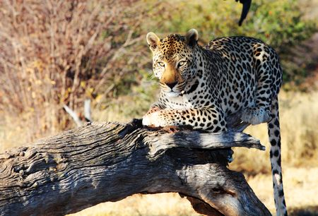 Leopard in a tree Stock Photo - 6061890