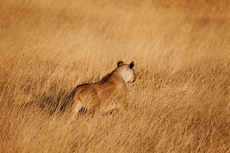 africat: Female lion hunting in the long grass xxxl file Stock Photo