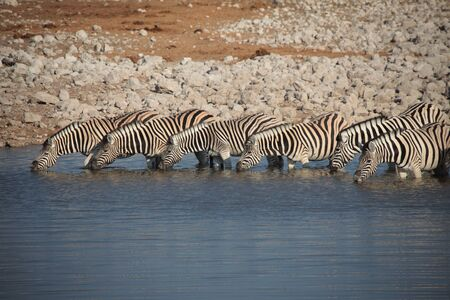 Row Of Zebras Stock Photo