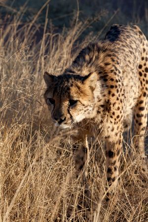 Cheetah In the Grass Stock Photo