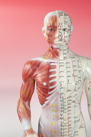 Body Image of Acupuncture Anotomy Model Stock Photo