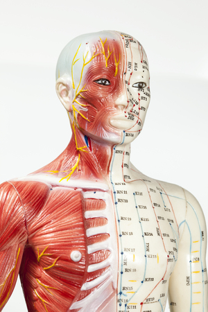 acupuncturist: Close up of medical dummy Stock Photo