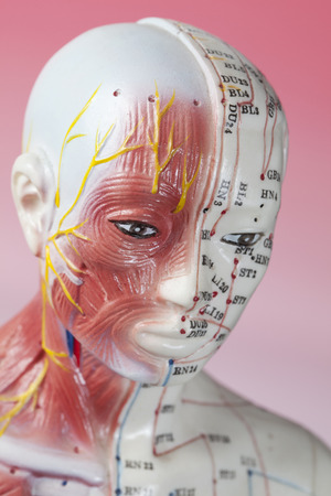 meridians: Close up of Acupuncture Model