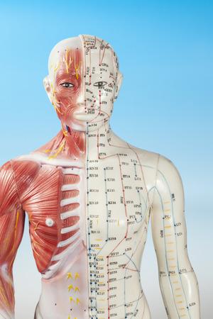 acupuntura china: La sección de cuerpo de la acupuntura Modelo