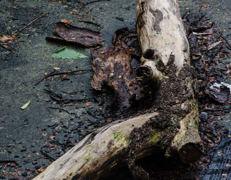 dead wood: wet dead wood uprooted trunk Stock Photo