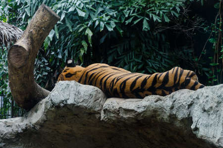 back side of sleeping tiger in the zoo photo