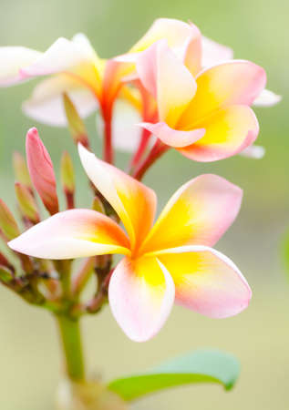 close up shot of Plumeria flower photo