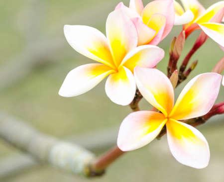 close up shot of Plumeria flower photo