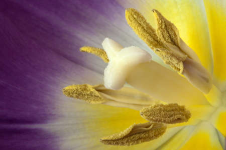 Brightly coloured purple, white and yellow tulip