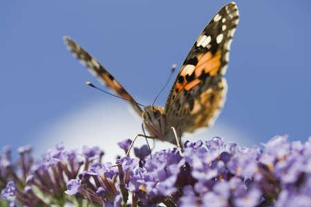 vanessa: Painted Lady Butterfly (Vanessa cardui) on Buddleia davidii
