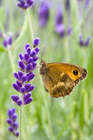 Gatekeeper Butterfly (Pyronia tithonus) on Lavandula