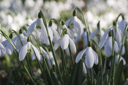 Galanthus nivalis (Snowdrops) on a sunny day Stock Photo