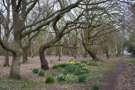 Spring landscape of dormant trees and daffodils