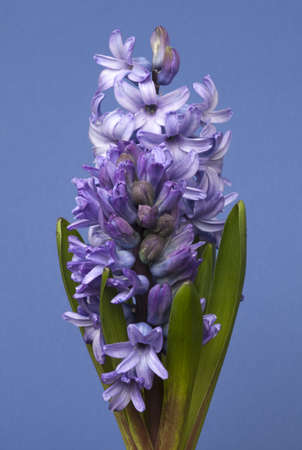 Emerging purple hyacinths against a blue background