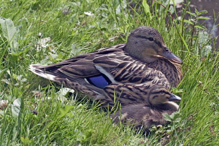 Mother duck with duckling resting in the sun