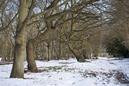 Winter landscape of dormant trees in the snow at Wenhaston, Suffolk, England photo