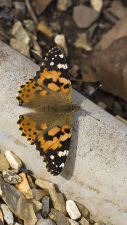 vanessa: Painted Lady Butterfly (Vanessa cardui)
