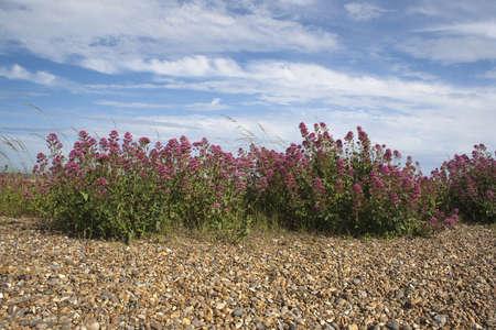 valerian: Valeriana rossa (Centranthus ruber) sulla spiaggia di Aldeburgh, Suffolk, Inghilterra